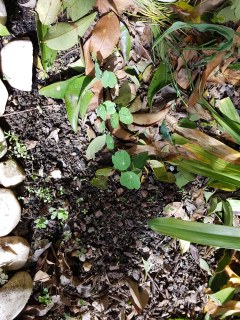Samen der Kapuzinerkresse nach 1,5 Wochen