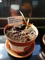 Mangosamen nach 5 Wochen