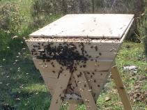 Bienen rein