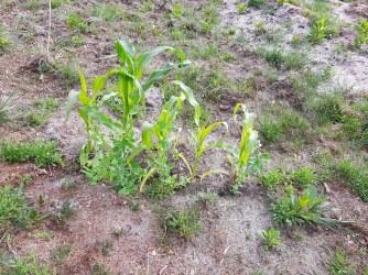 Samstag stand der Mais noch