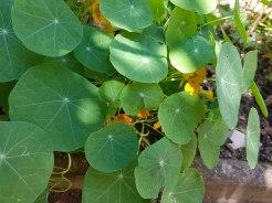 Kapuzinerkresse gelb