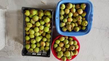 Apfelbaum 2